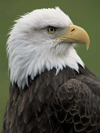 Bald Eagle Tours - BC Canada - Whistler Blackcomb Resort Eagle Tour Information